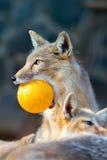 Porträt eines Fuchses in einem Zoo Vulpes corsac Lizenzfreie Stockfotografie