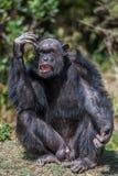 Porträt eines gemeinen Schimpansen im wilden, Afrika Stockfotos