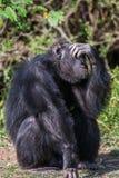 Porträt eines gemeinen Schimpansen im wilden, Afrika Stockbild