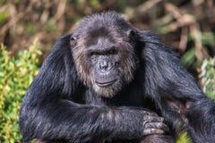 Porträt eines gemeinen Schimpansen im wilden, Afrika Lizenzfreie Stockfotos