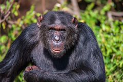 Porträt eines gemeinen Schimpansen im wilden, Afrika Lizenzfreie Stockfotografie