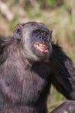 Porträt eines gemeinen Schimpansen im wilden, Afrika Lizenzfreie Stockbilder