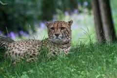 Porträt eines Gepards, der im Gras liegt lizenzfreie stockfotografie