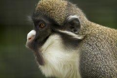 Porträt eines Gibbon-Schreiens Stockfotografie