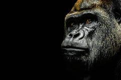 Porträt eines Gorillas Stockbilder