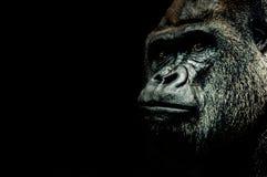 Porträt eines Gorillas Stockfoto