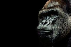 Porträt eines Gorillas Lizenzfreies Stockbild