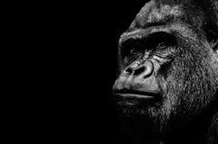Porträt eines Gorillas Lizenzfreie Stockfotografie