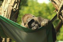 Porträt eines Gorillas, der in einer Hängematte sich entspannt stockfotos