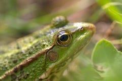 Porträt eines grünen Frosches Lizenzfreies Stockbild