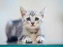 Porträt eines grauen gestreiften Kätzchens lizenzfreies stockfoto