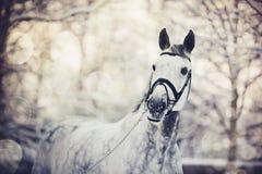 Porträt eines Graus trägt Pferd zur Schau Lizenzfreie Stockfotos