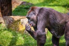 Porträt eines großen Westtieflandgorillas Stockfoto