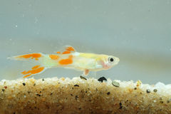 Porträt eines Guppy-Fisches Stockfoto