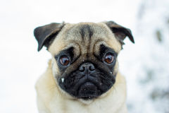 Porträt eines Haustier Pug Stockbilder