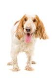 Porträt eines Hunderasse Russe-Spaniels Lizenzfreies Stockfoto