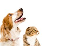 Porträt eines Hunderussischen Spaniel und -katze Scottish falten sich Stockfotos