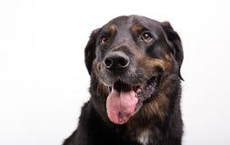 Porträt eines Hundes Lizenzfreies Stockfoto
