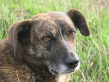 Porträt eines Hundes Lizenzfreie Stockfotografie