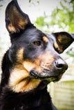 Porträt eines Hundes Lizenzfreie Stockfotos