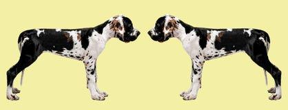 Porträt eines Hundes auf einem farbigen Hintergrund Lustiges Porträt eines Hundes Zwei Hundeblick auf einander Stockbilder