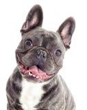 Porträt eines Hundes der französischen Bulldogge Lizenzfreies Stockfoto