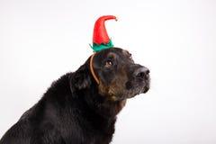 Porträt eines Hundes in der Verkleidung stockbild