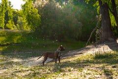 Porträt eines Hundes in einem Fluss Stockfotografie