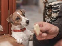 Porträt eines Hundes Jack Russell Terrier, der seinen essenden Eigentümer ein um Stück Käse bittet lizenzfreies stockbild