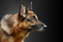 Porträt eines Hundes, Schäferhund Lizenzfreie Stockfotografie