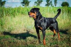 Porträt eines Hundes von Zucht ein rottweiler auf dem Gehen Stockfoto
