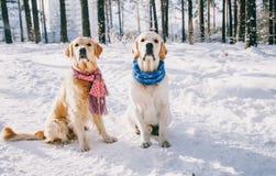 Porträt eines Hundetragenden Schals draußen im Winter zwei Jungegolden retriever, das im Schnee im Park spielt Stockfotografie