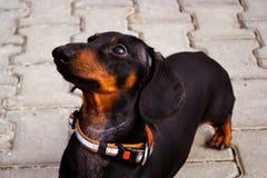 Porträt eines Hundewelpen des Zuchtdachshundschwarzen und auf einem Steinfliesenhintergrund sich bräunen stockfoto