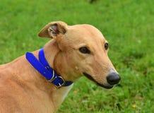 Porträt eines irischen Windhunds lizenzfreie stockfotos