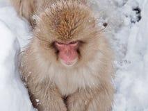 Porträt eines japanischen Schnee-Affe-Makakens Stockfotografie