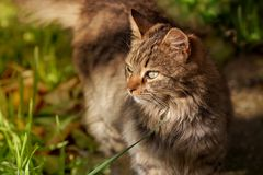 Porträt eines jungen grauen Kätzchens Stockfoto