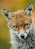 Porträt eines jungen männlichen roten Fuchses Stockbild