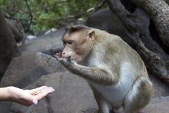 Porträt eines jungen Makakens, der auf Lebensmittel mit seinen Händen nimmt Indien-goa Stockfotos