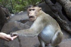 Porträt eines jungen Makakens, der auf Lebensmittel mit seinen Händen nimmt Indien-goa Lizenzfreies Stockfoto