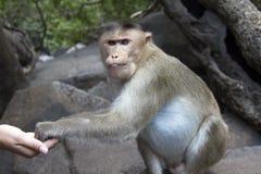 Porträt eines jungen Makakens, der auf Lebensmittel mit seinen Händen nimmt Indien-goa Lizenzfreie Stockfotos