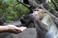 Porträt eines jungen Makakens, der auf Lebensmittel mit seinen Händen nimmt Indien-goa Lizenzfreie Stockbilder