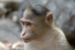 Porträt eines jungen Makakens, der nah die Bestellung aufspürt, was herum geschieht Indien-goa Lizenzfreies Stockfoto