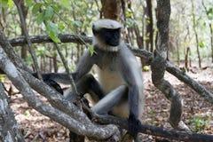Porträt eines jungen Makakens, der nah die Bestellung aufspürt, was herum geschieht Indien-goa Stockbilder