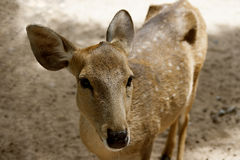 Porträt eines jungen Rotwilds in der Natur Lizenzfreie Stockfotos