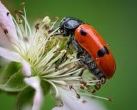 Porträt eines Käfers lizenzfreie stockfotografie
