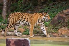 Porträt eines königlichen Bengal-Tigeralarms und -c$anstarrens entlang der Kamera Lizenzfreie Stockbilder