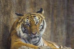 Porträt eines königlichen Bengal-Tigers Stockfoto