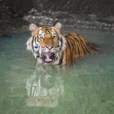 Porträt eines königlichen Bengal-Tigers Lizenzfreies Stockfoto