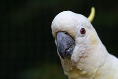 Porträt eines Kakadus auf einem dunkelgrünen Hintergrund Lizenzfreie Stockfotos