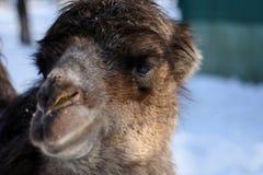 Porträt eines Kamelabschlusses oben lizenzfreie stockfotografie